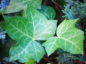 b%C5%99e%C4%8D%C5%A5an - Deset rostlin do ložnice pro lepší spánek