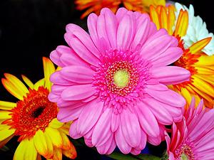 gerbera 1296607 640 - Deset rostlin do ložnice pro lepší spánek