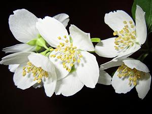 jasm%C3%ADn - Deset rostlin do ložnice pro lepší spánek