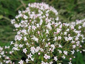 valeriana officinalis 846653 640 - Deset rostlin do ložnice pro lepší spánek