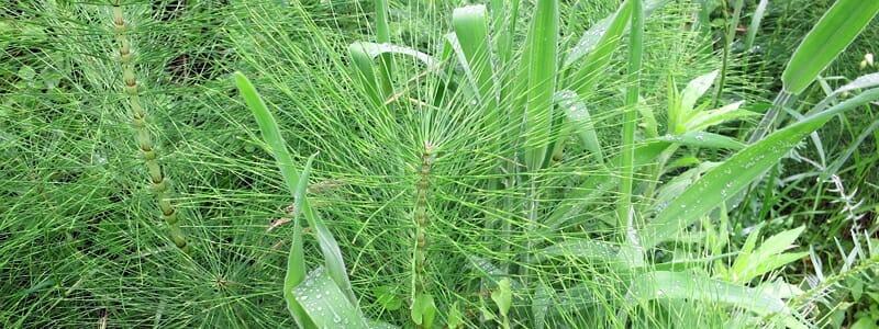 Přeslička rolní a její přínos pro naše zdraví (1). Jaké má přeslička účinky, a jak může prospívat našemu zdraví?