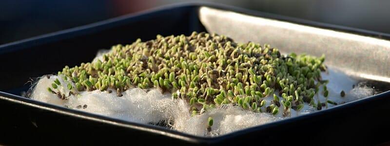 c2d3c9b20b160fbffdfe25b2991ceaa5 - Naklíčená chia semínka jsou mnohem výživnější