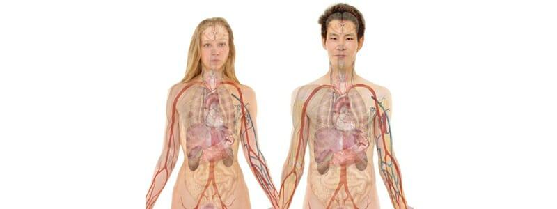 cc966550530c3c222bcd0194ddda3ef3 - Lidská játra - anatomický popis a funkce orgánu