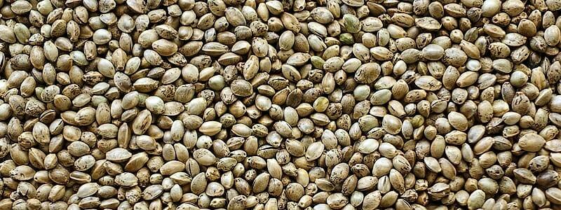 525d7d2c832333fb0961e773445b71c8 - Konopná semínka jsou bohatá na zdravé tuky