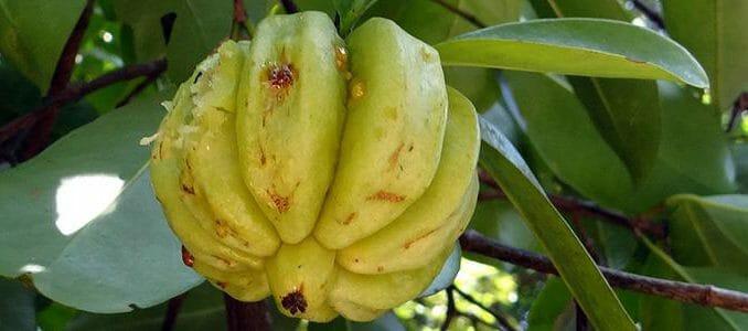 Garcinia cambogia je populární doplněk stravy pro hubnutí.