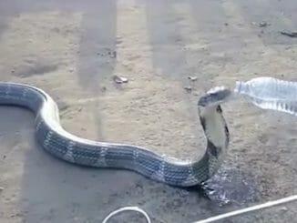 b3e2883867868d8c0c7dca46e02c57d3 326x245 - Zoufale žíznivá kobra dostala napít z láhve