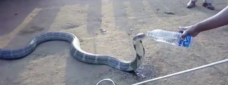b3e2883867868d8c0c7dca46e02c57d3 - Zoufale žíznivá kobra dostala napít z láhve