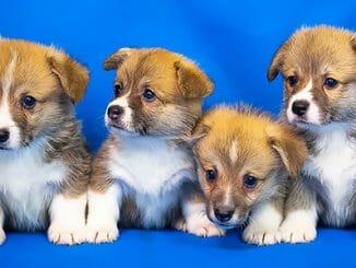 4a3779889e952dd2bdb95649fdc8250f 326x245 - Proč jsou štěňata sladká? Milujeme jejich dech
