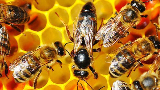 Glyfosát nejspíš hubí včelstva po celém světě.